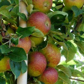 Appelboom (Malus Cox) kopen