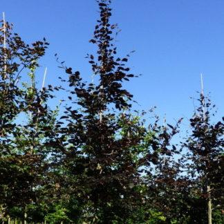 Rode beukenboom kopen