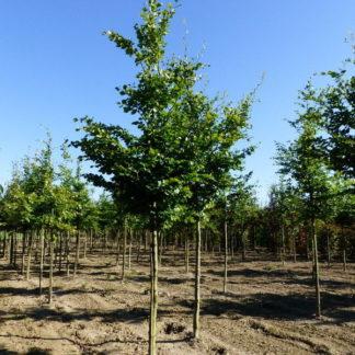 Groene beukenboom kopen