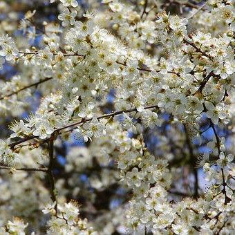 Sleedoorn (Prunus spinosa) kopen