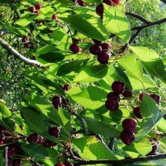 Kersenboom (Prunus Castor) kopen