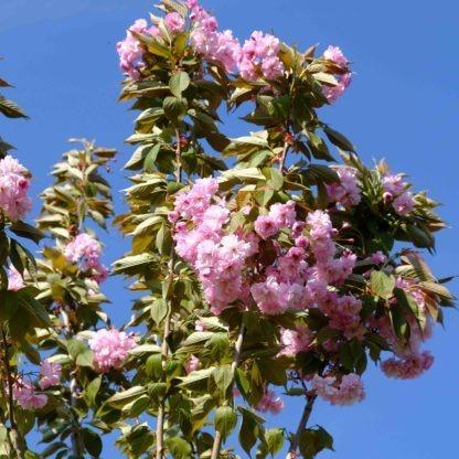 Prunus Serrulata Kanzan bloesem