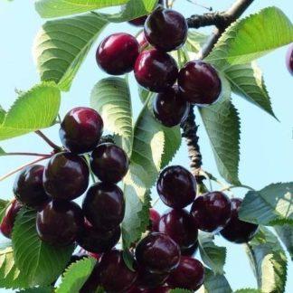 Kersenboom (Prunus Karina) kopen