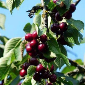 Kersenboom (Prunus Kordia) kopen