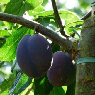 Prunus Monsieur Hatif kopen
