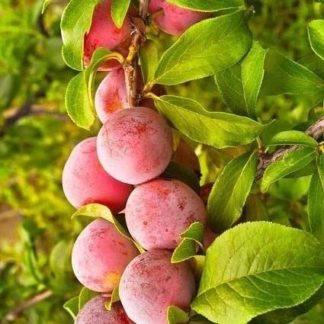 Pruimenboom (Prunus Opal) kopen
