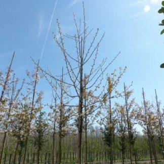 Kersenboom (Prunus Regina) kopen