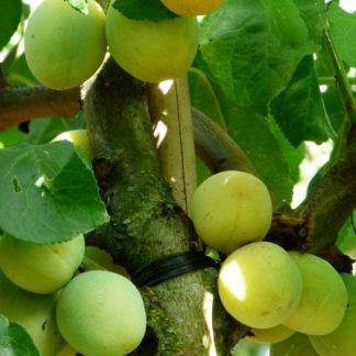 Prunus Reine Claude d'Oullins kopen