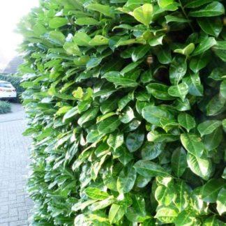 Laurier (Prunus Rotundifolia) kopen
