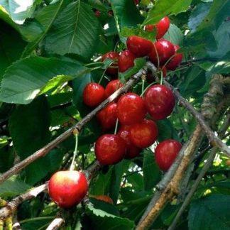 Kersenboom (Prunus Van) kopen