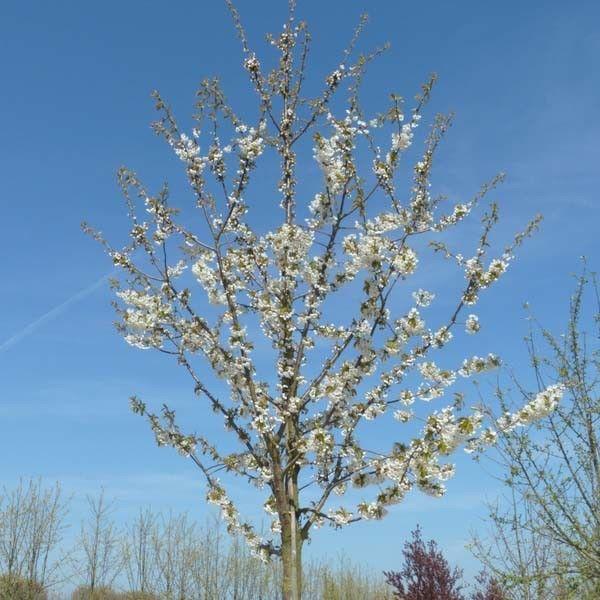 Kersenboom Varikse Zwarte kopen