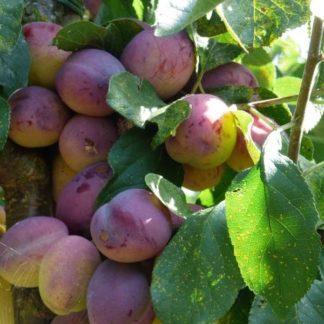 Prunus Reine Victoria kopen