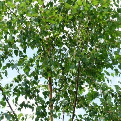 Ruwe berk bosplantsoen kopen