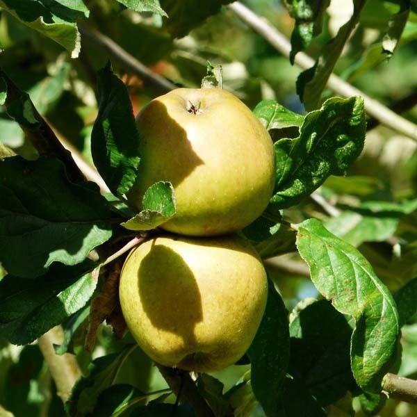 Appelboom (Malus Sterappel) kopen