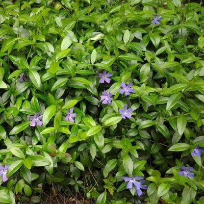 Groenblijvende vaste planten