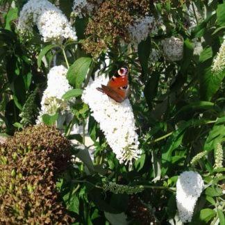 Vlinderstruiken