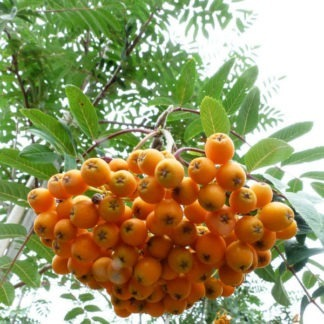 Lijsterbes Sorbus bosplantsoen kopen