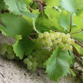 Witte druif kopen
