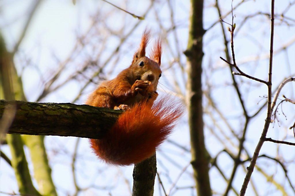 Eekhoorn in meerstammig notenboom